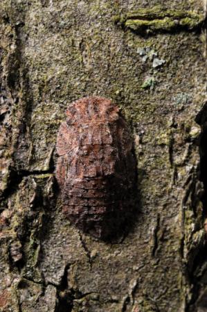 ミミズク幼虫