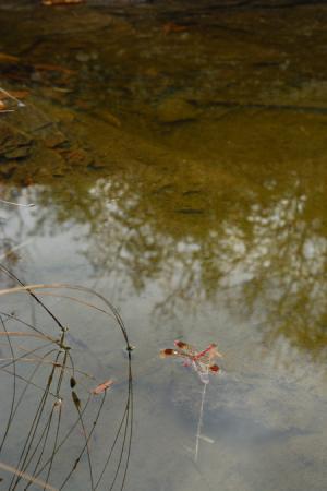 岩畳のミヤマアカネ