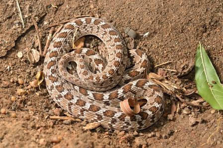アフリカタマゴヘビ