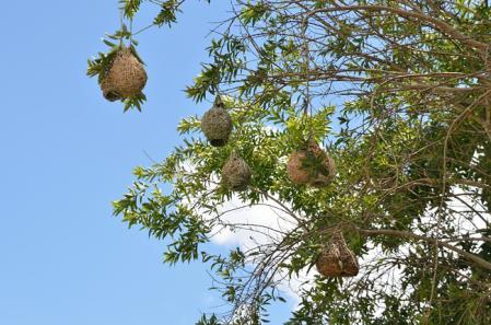 ズグロウロコハタオリの巣