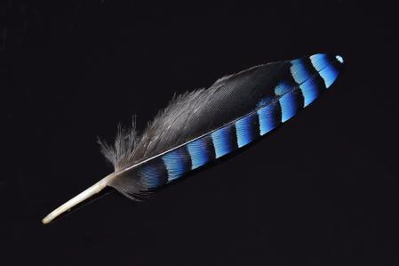 カケスの羽根
