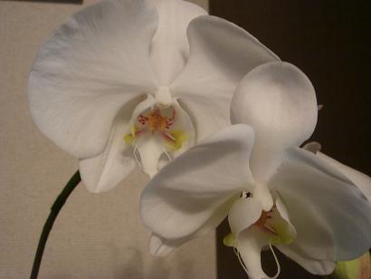 胡蝶蘭のアップ