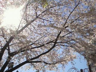 桜と木漏れ日
