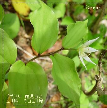 350chigoyuri90502b1.jpg