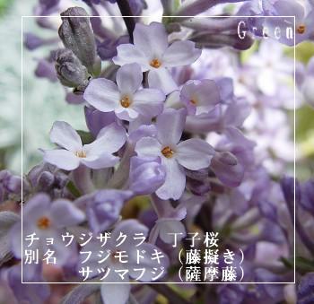 350choujisakura90330d1.jpg