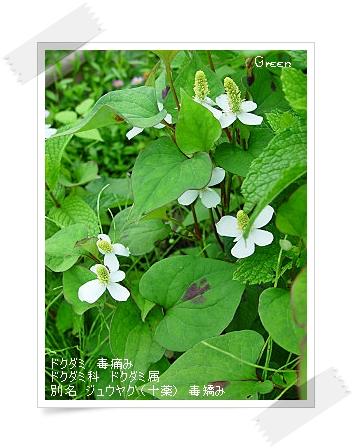 350dokudami90614a1.jpg