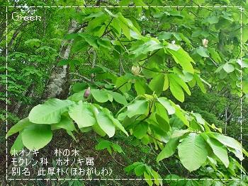 350hounoki90525f1.jpg