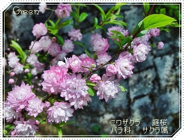 350niwasakura90430a.jpg