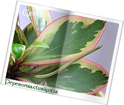 350pepeclusiifolia9b.jpg