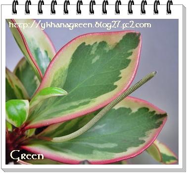 350pepeclusiifolia9c.jpg
