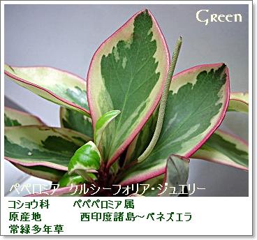 350pepeclusiifolia9p.jpg