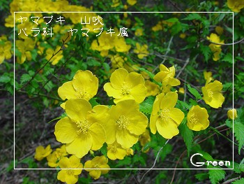 350yamabuki90417n1.jpg