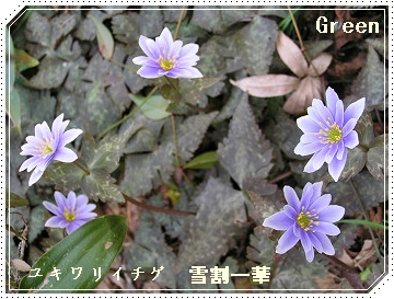 350yukiwariichige90317o96a.jpg