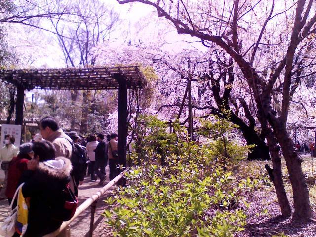 六義園入り口・・・あぁぁ、もう桜が溢れていますぅ