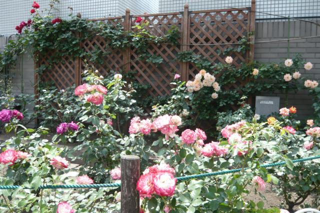 そこかしこにバラの花がっ!