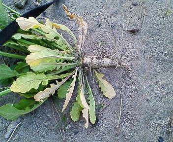浜大根の根
