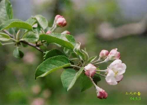 りんごの花HP