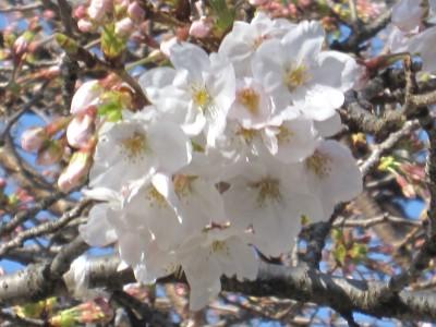 春が来た (34)