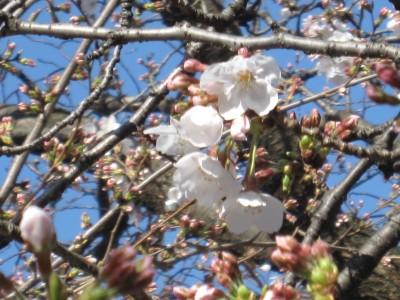 春が来た (38)