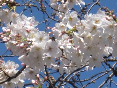 春が来た (42)