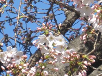 春が来た (52)