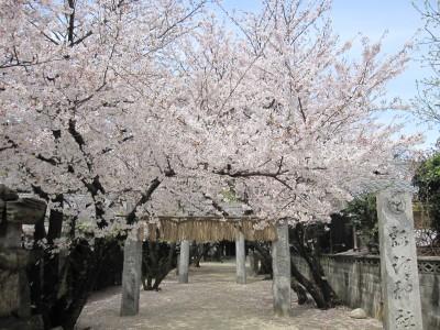 20100330桜 (24)