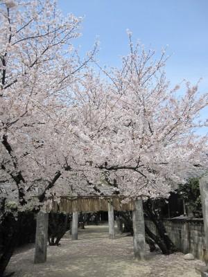 20100330桜 (25)