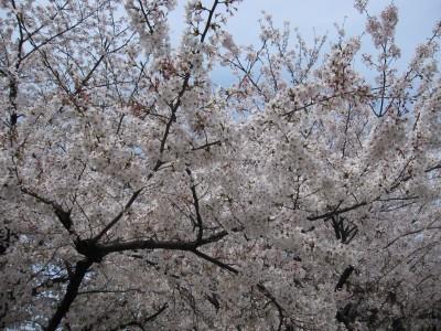 20100330桜