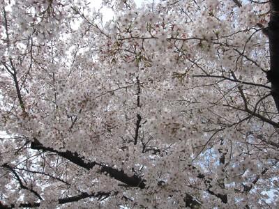 20100330桜 (2)