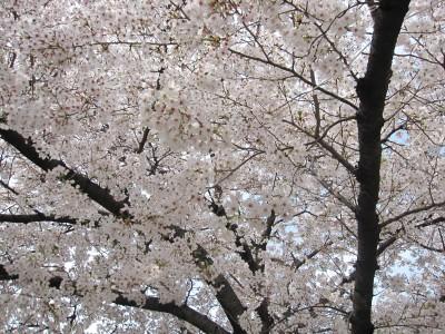 20100330桜 (3)