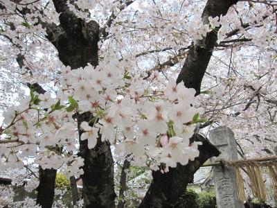 20100330桜 (9)