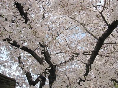 20100330桜 (11)