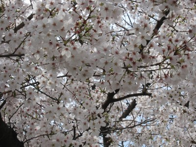 20100330桜 (14)