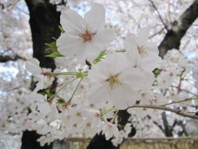 20100330桜 (17)