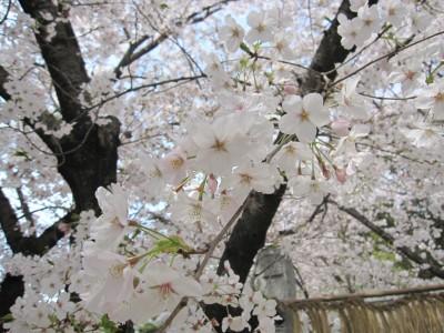 20100330桜 (18)