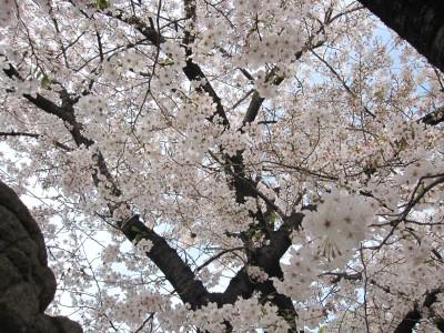 20100330桜 (29)