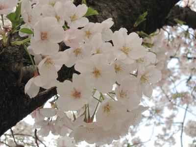 20100330桜 (34)