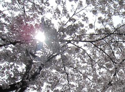 20100330桜 (42)