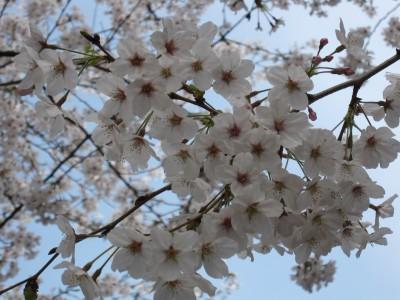 20100330桜 (47)