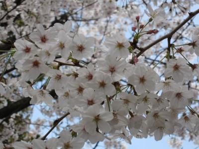 20100330桜 (49)