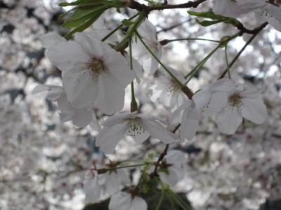 20100330桜 (52)