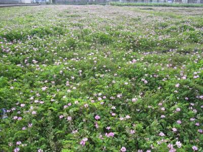 20100404れんげ畑 (1)