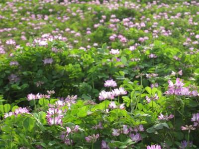 20100404れんげ畑 (2)