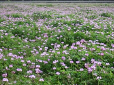 20100404れんげ畑 (4)