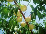 白桃間もなく収穫H200813