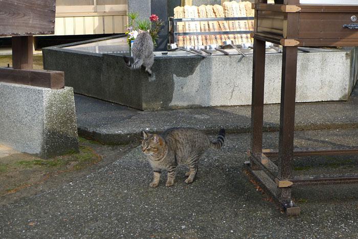 愛玩 猫 ねこ ネコ 日之本元極