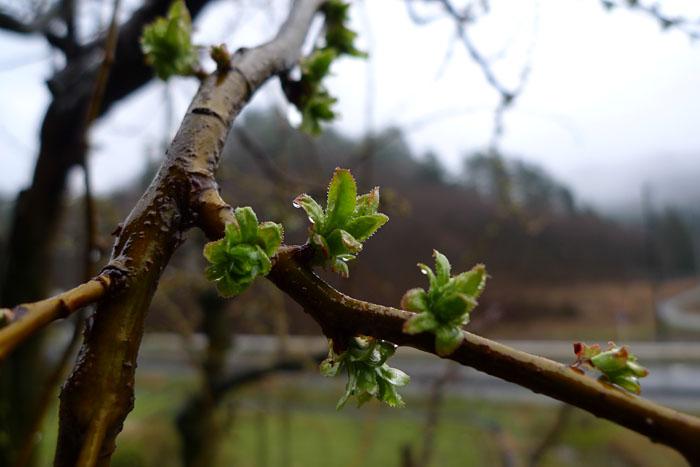 芽吹き 高山の春 ひだ 北 日之本元極