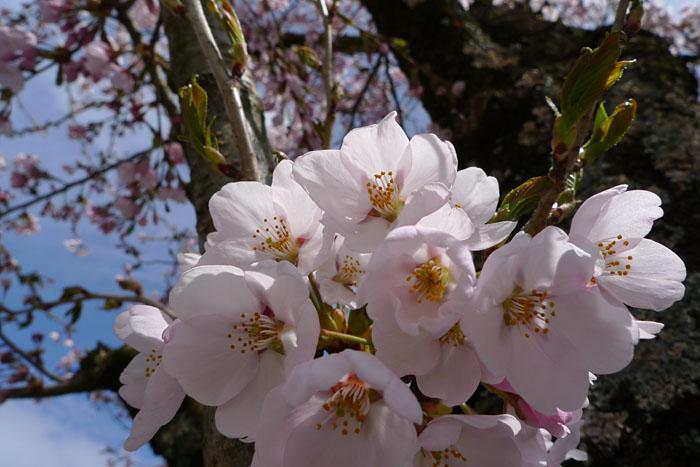 桜春 さくら 日之本元極 ひだ 高山