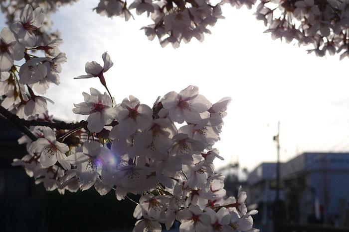 すのり さくら 桜 ひだ 高山 日之本元極