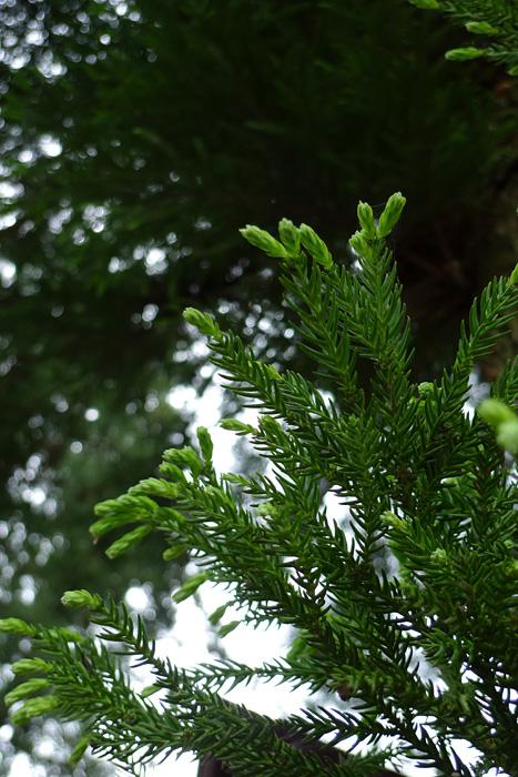 新芽 新緑 生命 飛騨 高山 日之本元極